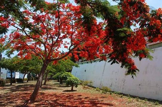 """台北各个公园总可望见大片火红的凤凰花开,好不美丽。凤凰木是夏季开花的木本植物,花色鲜红亮丽,大片簇拥的花海,正是初夏时节的赏花焦点。   凤凰木又名金凤花、红花楹树、火树。除了常见于校园中,台北市公园路灯工程管理处在仁爱路四段及青年公园等地也有大面积的种植。它原生于非洲及东南亚等地,是豆科凤凰木属的大乔木,每年约5至7月为盛花期,此时正逢离情依依的毕业季,""""凤凰花开""""遂成了最婉约的惜别词。   凤凰木叶片为二回羽状复叶,羽状小叶长约1厘米,质感细致,讨喜迷人;花朵盛开时,遍布树"""